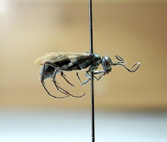 Ageniella agenioides - female