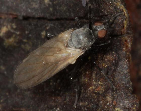 Gray fly on wood  - Rhamphomyia