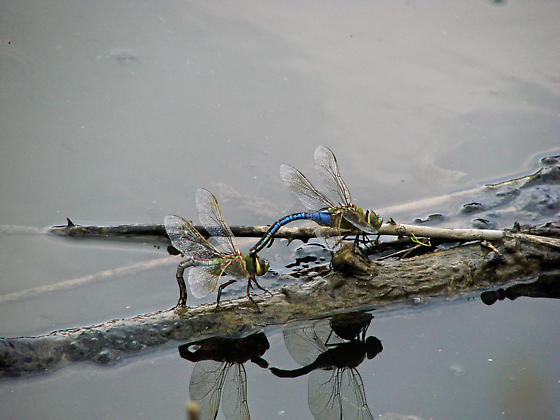 Common Green Darner (mating) - Anax junius