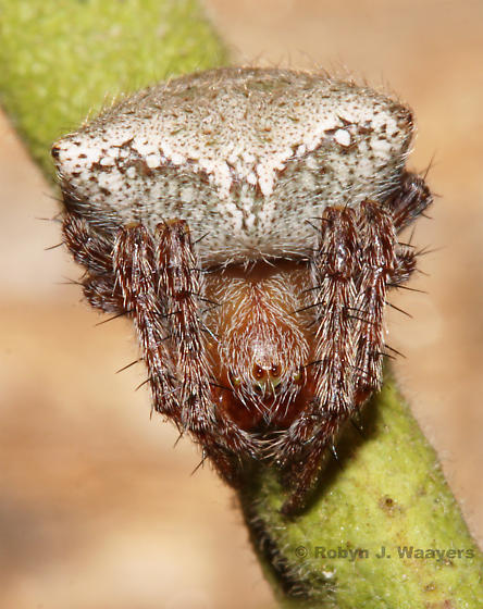 - - Araneus