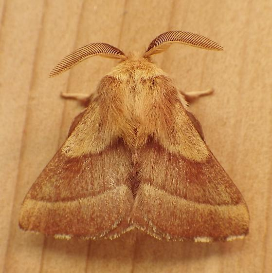 Lasiocampidae: Malacosoma disstria - Malacosoma disstria