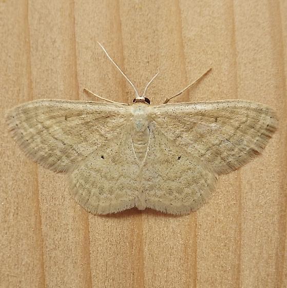 Geometridae: Scopula inducta - Scopula inductata