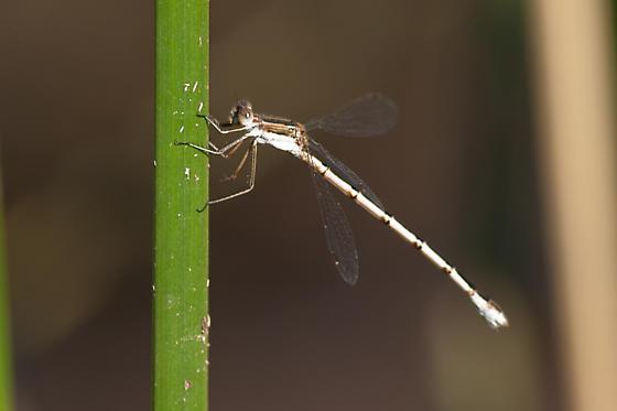 Lestes australis - female