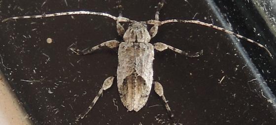 Gray Longhorn Beetle sp? - Styloleptus biustus