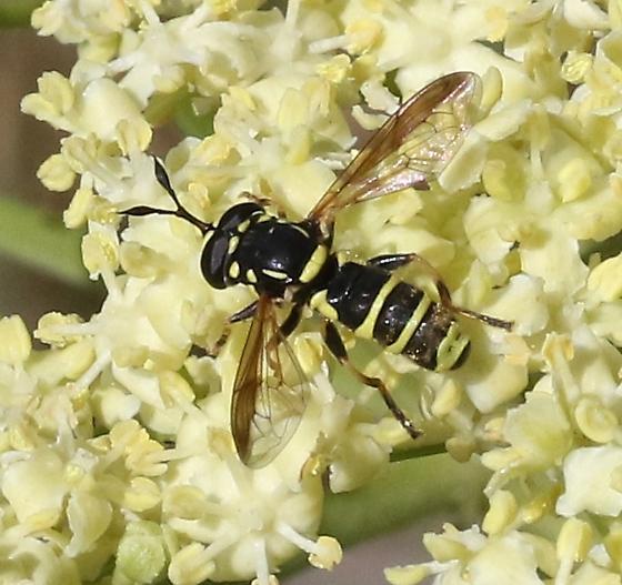 Syrphidae - Ceriana tridens - male