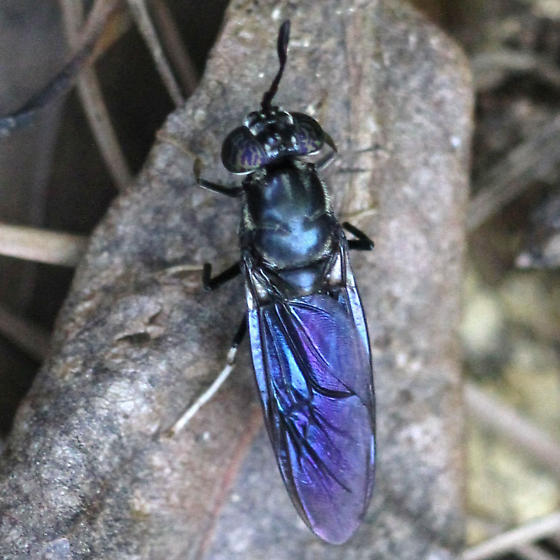 Fly - Black Soldier Fly - Dorsal - Hermetia illucens