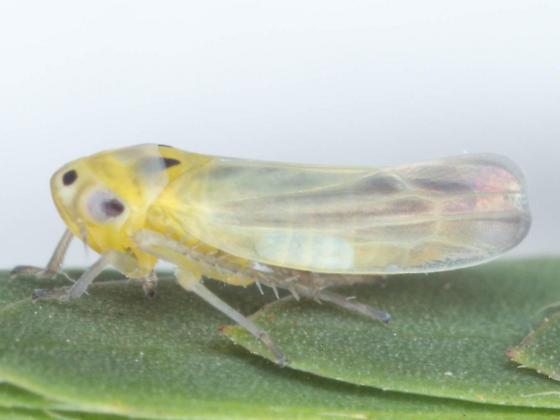 lateral - Neozygina veracruzensis - male