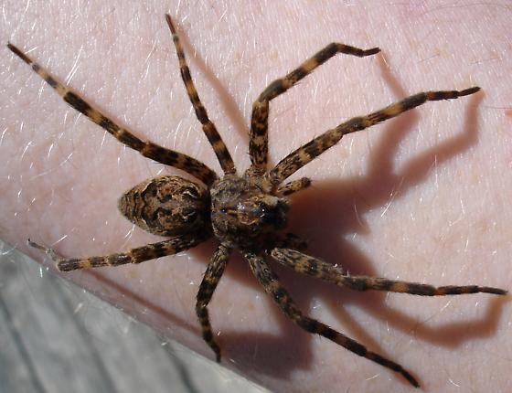 Not Only Leopards Have Spots - Dolomedes tenebrosus - female