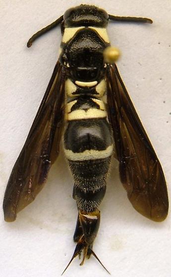 Wasp - Pseudodynerus quadrisectus - male