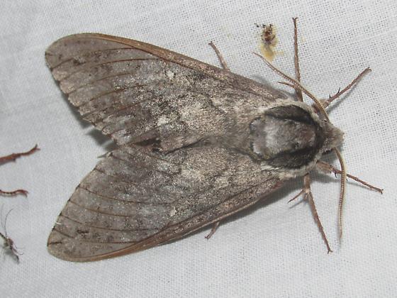Ceratomia undulosa