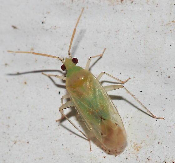 Bug - Americodema nigrolineatum