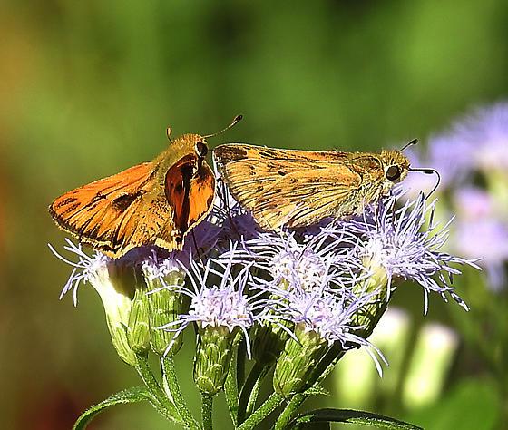 Hylephila phyleus ? - Hylephila phyleus