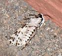 Leopard Moth - Hypercompe permaculata