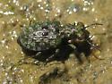 Marsh Ground Beetle - Elaphrus ruscarius