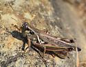 grasshopper0829152 - Melanoplus femurrubrum - male
