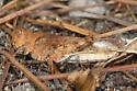 unknown grasshopper - Dissosteira pictipennis - female