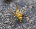 Anastrepha ludens? - Anastrepha ludens - female