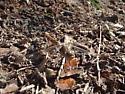 Brown Dragonfly - Sympetrum corruptum