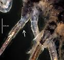 Entomobryidae (?) SR-033