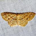 Unknown Geometrid Moth - Scopula benitaria
