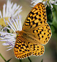 Which fritillary? - Speyeria zerene - male