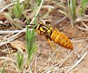 wasp, huge - Vespula squamosa
