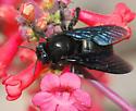 Arizona Carpenter Bee - Xylocopa californica - male
