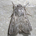 moth - Neogalea sunia