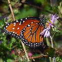 queen - Danaus gilippus
