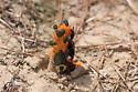 Beetle for ID - Melanocanthon