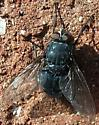 Blow Fly (Calliphora sp.) - Calliphora - male