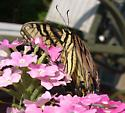 Eastern Tiger Swallowtail-underside view - Papilio glaucus - female