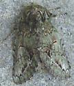 Heterocampa biundata - Heterocampa umbrata