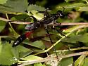 Thread-waisted Wasp (Family Sphecidae) - Ammophila
