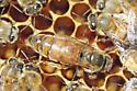 Queen Bee - Apis mellifera - female