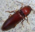 Red click beetle - Hemicrepidius bilobatus