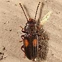 Small beetle - Laemophloeus biguttatus