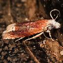 Hodges#2928 - Eucosma raracana