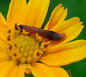caterpillar - Spodoptera eridania