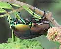 Beetle - Cotinis