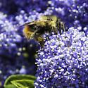 mixed bumblebee on blueblossom ceanothus - Bombus mixtus