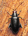 Beetle - Systena frontalis