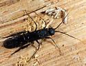 Sirex nigricornis? - Sirex areolatus
