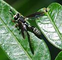 Thick-headed Fly sp. - Physocephala marginata