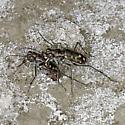 Tiger Beetle Oviposition and Mate-Guarding  - Cicindelidia haemorrhagica - male - female