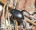 Darkling Beetle - Eleodes fusiformis