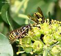 Yellow Jacket - Vespula vidua - female