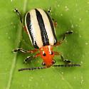 Three-lined Potato Beetle - Lema daturaphila