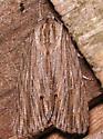 streaked dagger - Acronicta lithospila