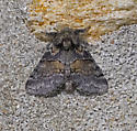MothCommonGluphisia_Gluphisia_septentrionis05302019_GH_ - Gluphisia septentrionis